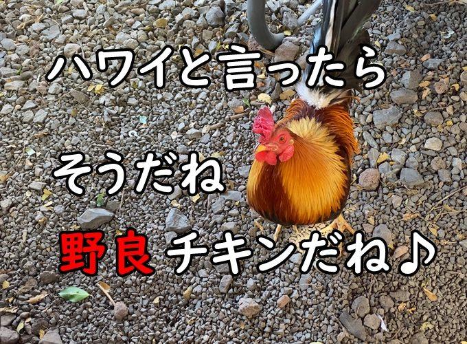 ハワイの野良チキン(鶏)写真まとめ|YOUTUBE視聴者さんからの頂きもの